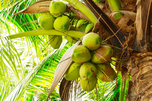 Healthy eating and nutrition_ Cocnuts in tree
